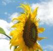 sky-sunflower-1388120
